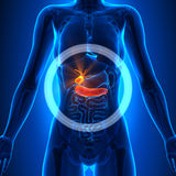Gallbladder / Pancreas - Female Organs - Human Anatomy Stock Photography
