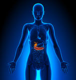 Gallbladder / Pancreas - Female Organs - Human Anatomy Stock Photo
