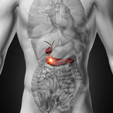 Gallbladder / Pancreas - Male anatomy of human organs - x-ray view Stock Photos