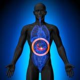 Gallbladderen/bukspottkörteln - manlig anatomi av mänskliga organ - x-ray sikt vektor illustrationer