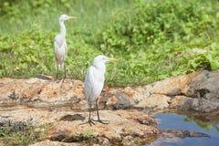 Galle, Sri Lanka - Białe azjatykcie czaple ma odpoczynek przy małym r Fotografia Stock