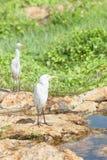 Galle, Sri Lanka - Biali azjatykci egrets ma odpoczynek przy małym r Zdjęcia Royalty Free
