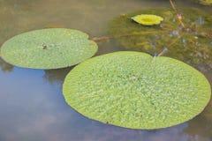 Galleggiamento della foglia di Lotus Fotografia Stock