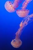 Galleggiamento delle meduse fotografie stock libere da diritti