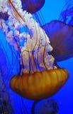 Galleggiamento delle meduse Immagine Stock Libera da Diritti