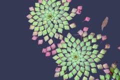 Galleggiamento piante/della pianta acquatica al disopra della superficie Immagine Stock Libera da Diritti