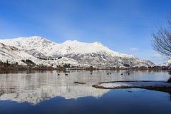 Galleggiante dei cigni neri sul lago di riflessione Fotografia Stock Libera da Diritti