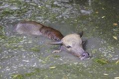 Galleggiante del bufalo del bambino dentro di acqua sporca Immagine Stock