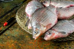 Galleggiante della gabbia della canna da pesca del carassio del gruppo Fotografia Stock Libera da Diritti