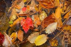 Galleggiante delle foglie di autunno sulla riva del lago Adirondack Fotografie Stock Libere da Diritti