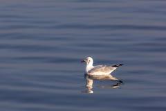 galleggiante nel mare, animale del gabbiano dell'uccello Immagini Stock Libere da Diritti