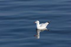 galleggiante nel mare, animale del gabbiano dell'uccello Fotografia Stock