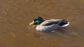 Galleggianti del maschio dell'anatra sul fiume in primavera stock footage