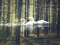 Gallen, hösten, härligt svanar, sjön, naturen, skönhet, förälskelse, inlove royaltyfri foto
