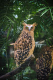 Gallerförsedd Eagle-uggla stirrande Royaltyfria Foton