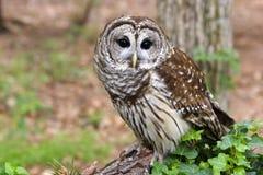 gallerförsedd owl Royaltyfri Bild