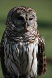 Gallerförsedd Owl Arkivfoto