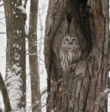 gallerförsedd owl Arkivbilder