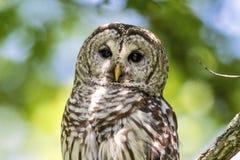 gallerförsedd owl Royaltyfri Fotografi