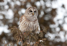 gallerförsedd owl Royaltyfria Foton