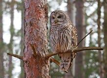 gallerförsedd owl Royaltyfria Bilder