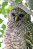 gallerförsedd owl Royaltyfri Foto