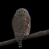 gallerförsedd owlet för asiat Royaltyfria Foton