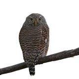 gallerförsedd owlet för asiat Royaltyfri Fotografi