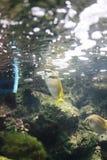 gallerförsedd rabbitfish två Arkivfoto
