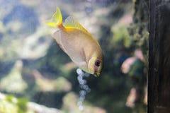 gallerförsedd rabbitfish två Royaltyfri Fotografi