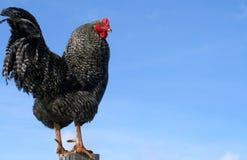 gallerförsedd rooster för rock 0901 Arkivfoto