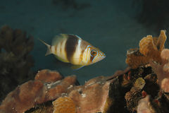 Gallerförsedda Hamlet som simmar över en Coral Reef Arkivfoton