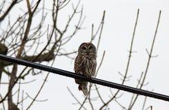 Gallerförsedda Owl On en tråd Royaltyfri Foto