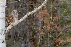 Gallerförsedda Owl Perched i björkträd Royaltyfri Bild
