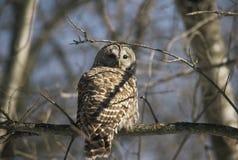 Gallerförsedda Owl Retrospect Arkivbild