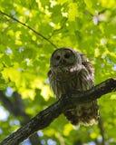 gallerförsedd owl Arkivfoton