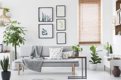 Gallery with plant posters hanging on wall in real photo of bright living room interior with window with wooden blinds and grey so. Fa with cushions and blanket stock image