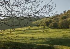 Galles, Regno Unito - agnelli sull'prati un giorno soleggiato immagine stock libera da diritti