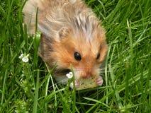 Galleta que come el roedor en hierba Fotografía de archivo