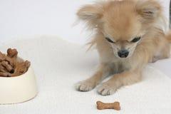 Galletas y chihuahua del perro Fotografía de archivo libre de regalías