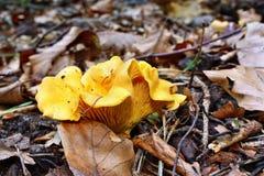 Galletto del fungo fotografia stock libera da diritti