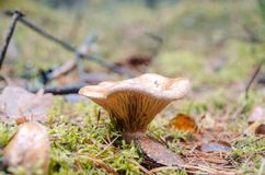 Galletto del fungo, crescente nei muschi nel legno immagini stock