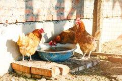 Galli e galline su un'azienda avicola tradizionale agricoltura Fotografia Stock Libera da Diritti
