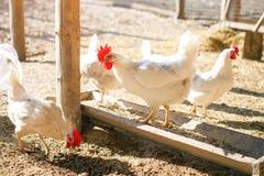 Galli e galline su un'azienda avicola tradizionale agricoltura Immagine Stock Libera da Diritti