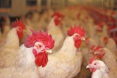 Galli nell'azienda agricola di pollo immagine stock libera da diritti