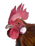 Gallic rooster (1 year old) Royalty Free Stock Photos