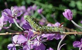 Gallii του Caterpillar Hyles Στοκ Εικόνα