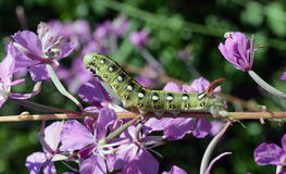 Gallii de Caterpillar Hyles Imagem de Stock