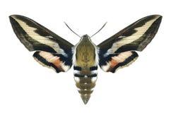 Gallii de Hyles da borboleta Fotos de Stock
