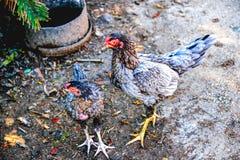 Gallina con el polluelo imagen de archivo